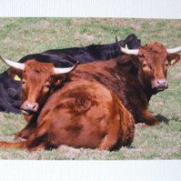 Photographic greetings card of  Cattle.