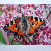 Photographic greetings card of a Large Tortoiseshell Butterfly.
