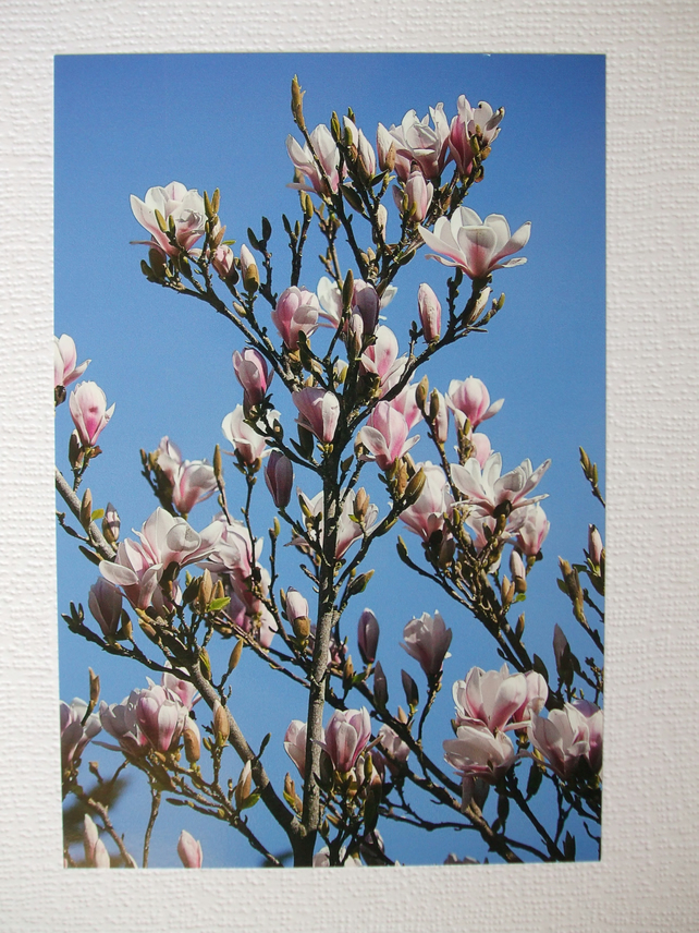 Photographic greetings card of Magnolia blossom.