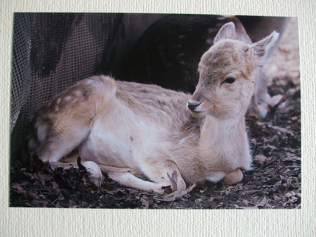 Photographic greetings card of a young Fallow Deer.