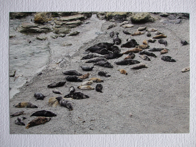 Photographic Greetings Card of over 50 Grey Seals.
