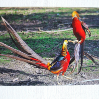 Photographic greetings card of a pair of male Golden Pheasants