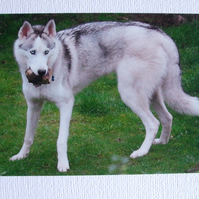 Photographic greetings card of a Siberian Husky