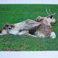 Photographic greetings card of Reindeer.