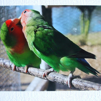 Photographic greetings card of two Love Birds.