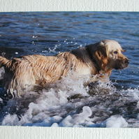 Photographic greetings card of a Golden Retriever.
