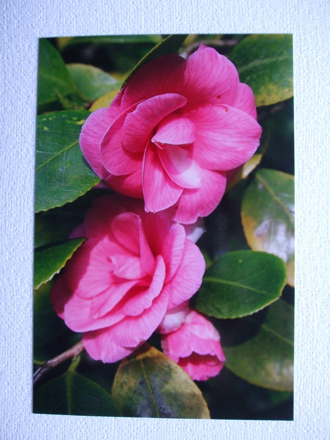 Photographic greetings card of a pink Camelia.