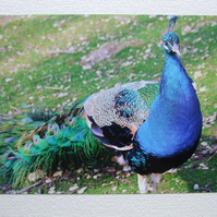 Photographic greetings card of a Peacock
