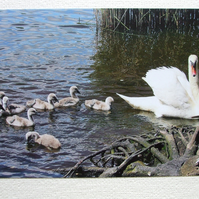Photographic greetings card of 8 Cygnets following Mrs. Swan.