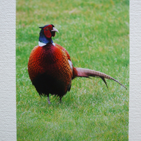 Photographic greetings card of a cock Pheasant.