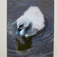 Photographic greetings card of a Cygnet.