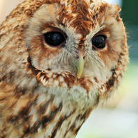 Photographic greetings card of a Tawny Owl