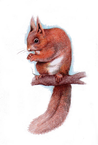 Original Illustration - Red Squirrel