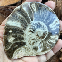 Substantial Polished Half Ammonite for Display, Crafting Project or Prop.