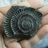 Ammonite Fossil in Relief, ideal for Crafting Project or Photography Prop
