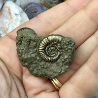 Double Golden Pyrite Ammonite Fossils Specimen for display or crafting project.