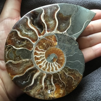 Stunning Substantial Half Polished Ammonite for Jewellery Designer or photo prop