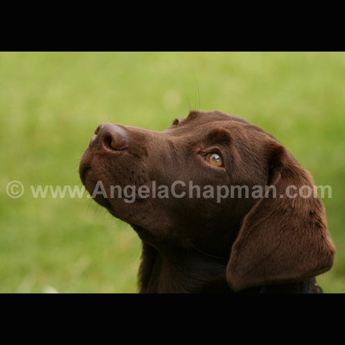 Mouse - A5 photo greetings card, chocolate Labrador Retriever puppy