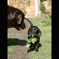 Eating My Greens - A5 photo greetings card - Labrador puppy