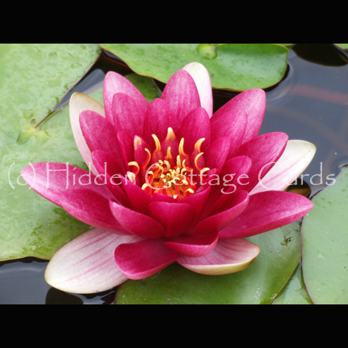 Water Lily - A5 photo greetings card - flower