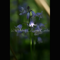 Bluebells - A5 photo greetings card