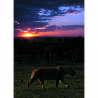 10 - SUNSET LIONESS A3 POSTER