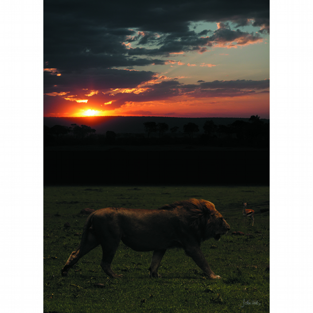 6 - SUNSET STROLLING LION A3 POSTER