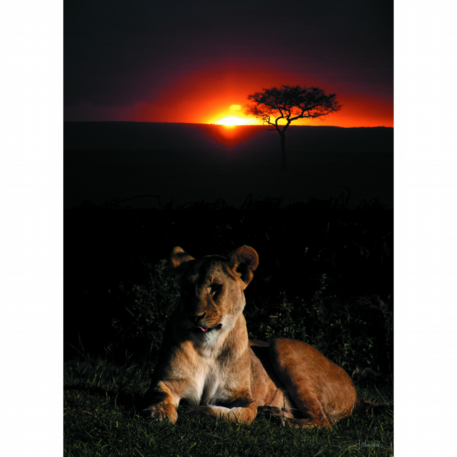 9 - SUNSET LIONESS A3 POSTER