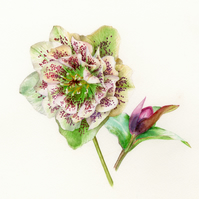 Hellebore and bud limited edition print