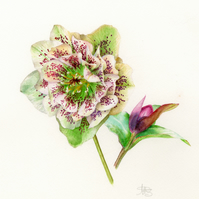 Hellebore and bud greetings card