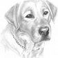 Limited edition print Labrador Portrait by Ally Tate
