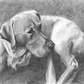 Limited edition print Labrador Lying by Ally Tate