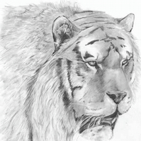 Pencil drawing: Tiger (print)