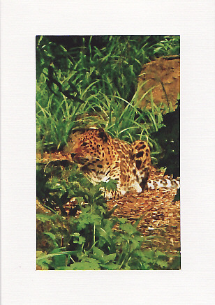 SALE - Leopard Image - Greetings Card or Notelet - Animal Photo Print