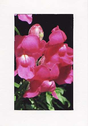 SALE - Pink Snapdragon Flower Image - Greetings Card  - Floral Photo Print