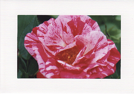 SALE Rose Image in Red and Pink - Greetings Card or Notelet - Floral Photo Print