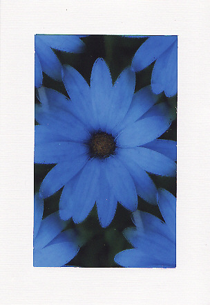 SALE - Blue African Daisy Image - Greetings Card or Notelet - Floral Photo Print