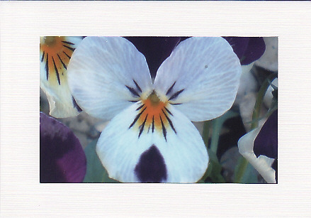 SALE - Viola Image - Greetings Card or Notelet - Floral Photo Print
