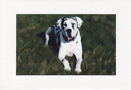 SALE - Great Dane Image - Greetings Card Or Notelet - Animal Photo Print