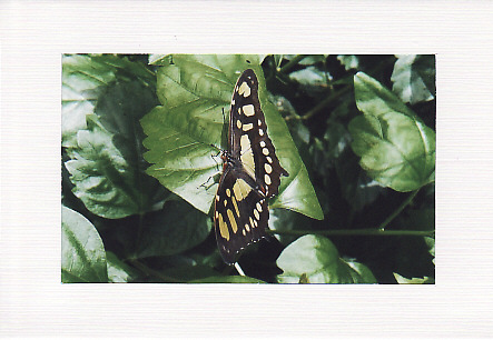 SALE - Open Winged Butterfly Image - Greeting Card  - Insect Photo Print