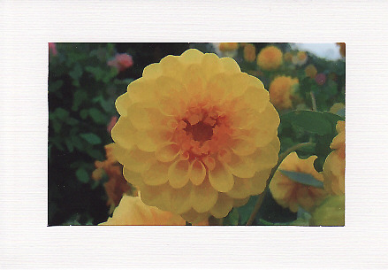 SALE - Yellow Dahlia Image -  Greetings Card Or Notelet  Floral Photo Print