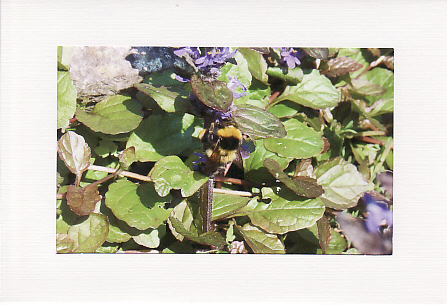 SALE - Bee On Purple Flowers Image - Greetings Card  - Insect Photo Print