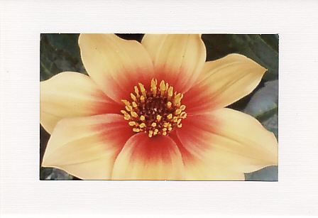 SALE - Yellow & Red Cosmos Image - Greetings Card  -  Floral Photo Print