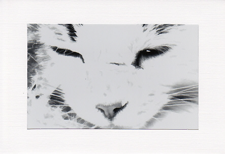 SALE - Maine Coon Cat Image 2 - Greetings Card  - Animal Photo Print