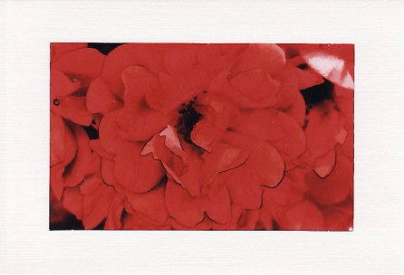SALE - Bright Red Rose Image - Greetings Card Or Notelet  -  Floral Photo Print