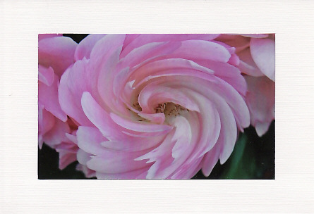 SALE - Pastel Pink Rose Image - Greetings Card Or Notelet  -  Floral Photo Print