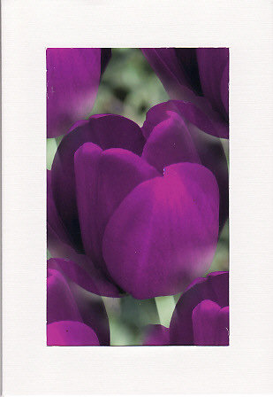 SALE - Purple Tulip Image - Greetings Card Or Notelet  -  Floral Photo Print