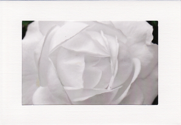 SALE - White Rose Image - Greetings Card Or Notelet - Floral Photo Print