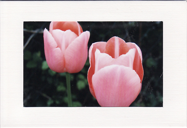 SALE - Pink Tulips Image - Greetings Card Or Notelet - Floral Photo Print