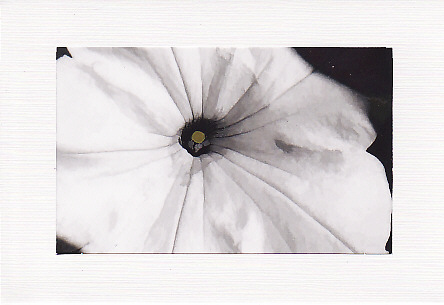 SALE - White Petunia Image - Greetings Card Or Notelet - Floral Photo Print